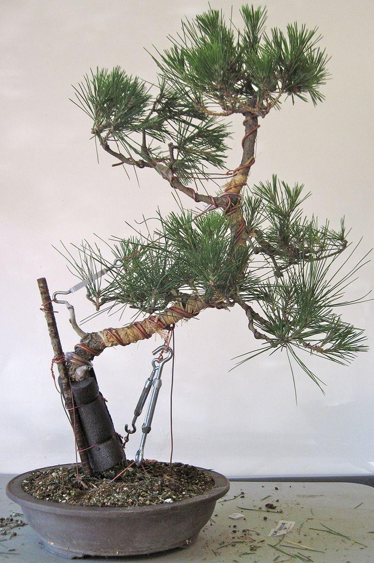 Kusamura Bonsai Club - Making Dramatic Bends in a Pine