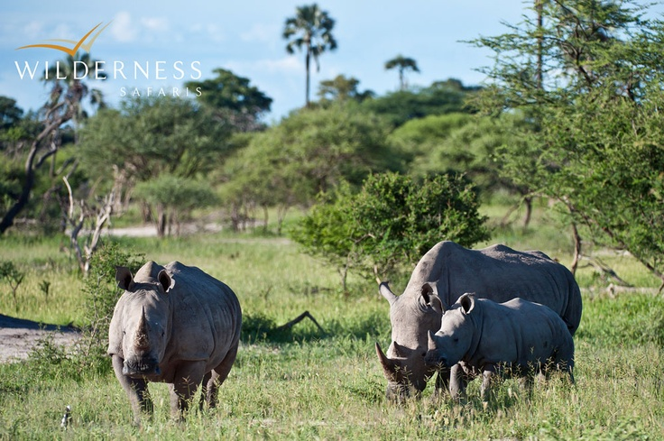Mombo Camp - Black and white rhino have been reintroduced to the region with outstanding success (albeit most are further away from Mombo Camp), thanks to the Botswana Rhino Reintroduction Programme. #Safari #Africa #Botswana  #WildernessSafaris