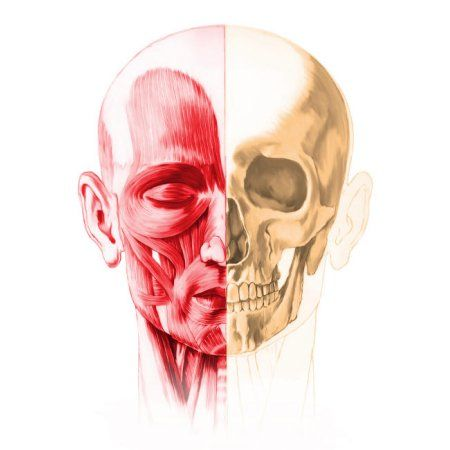 Anatomy of a male human head with half muscles and half skull Poster ...