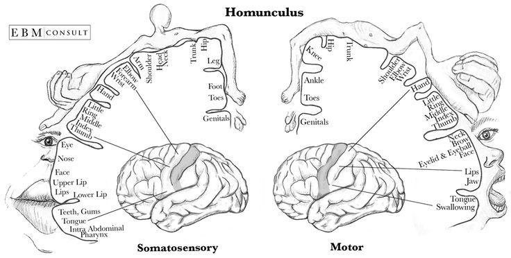 Homunculus Sensory & Motor Image
