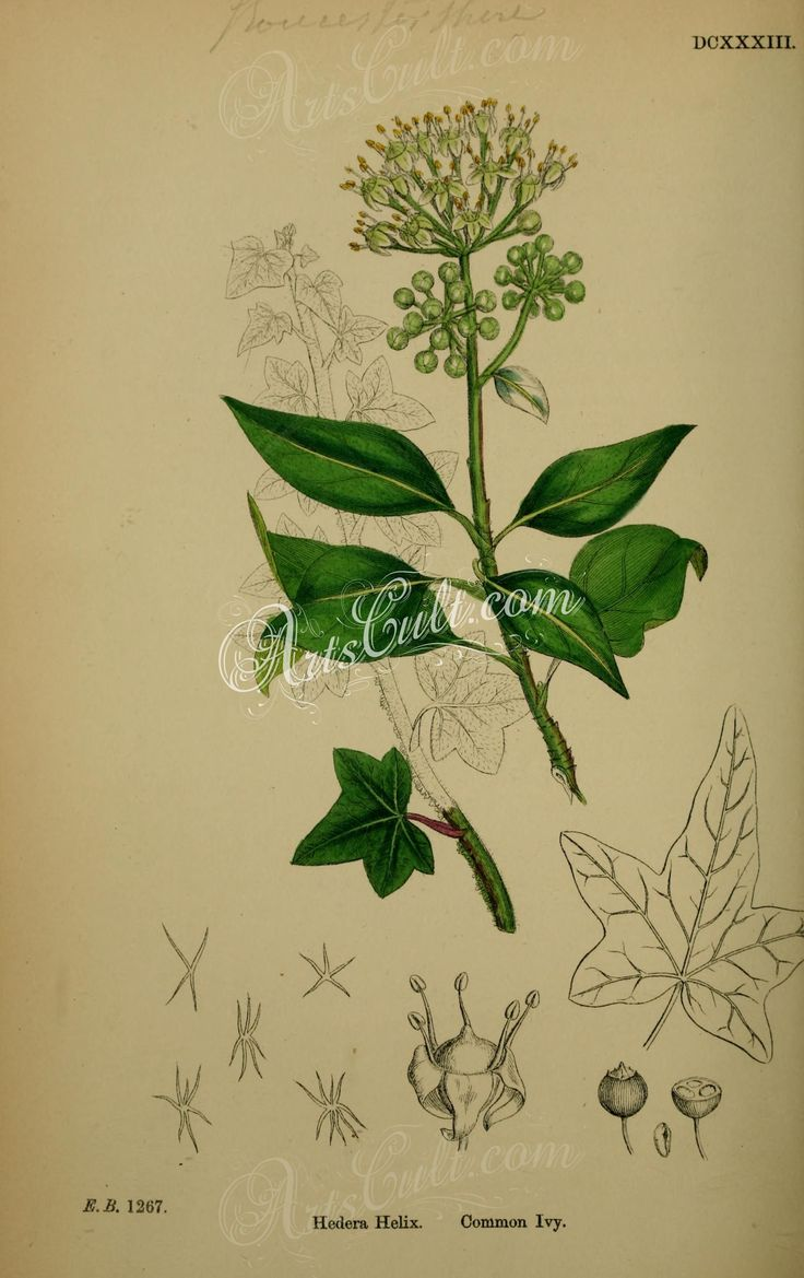 Common Ivy, hedera helix      ...
