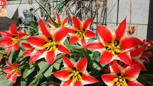 Flower of the Day from my Garden: Plaisir Greigii Tulips... my favorite spring flower! ♡