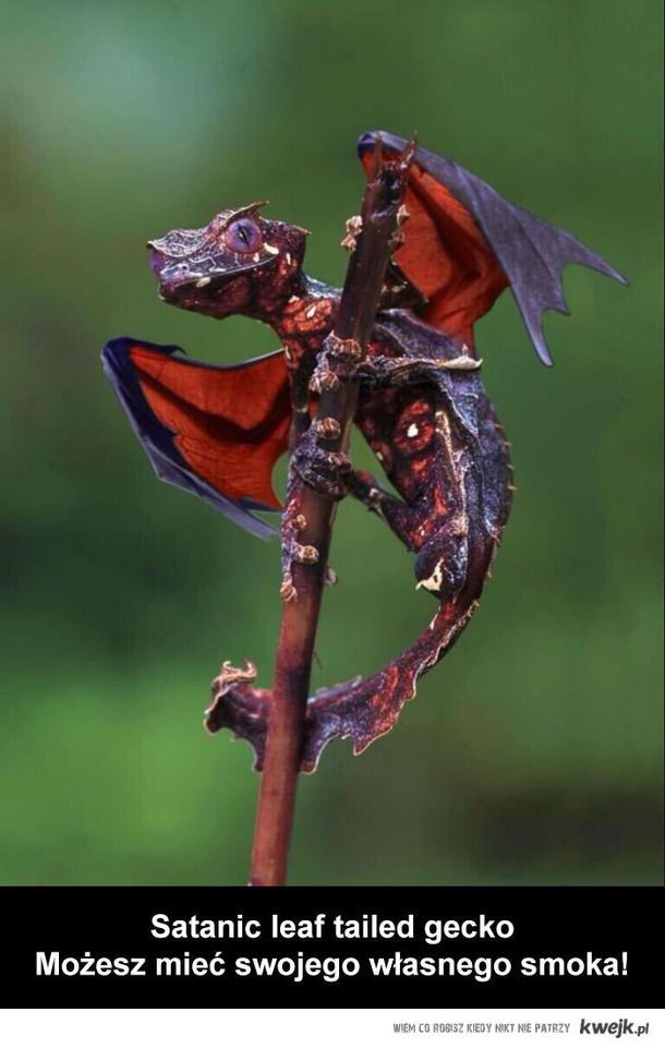 Prawdziwy smok! :O #dragon #cute #animal #interesting