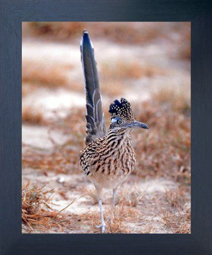 Bring nature indoors with this Greater Roadrunner bird animal art print framed poster. This framed art will delicately pop from any wall surface and have a soothing effect on your decor. It is a perfect pick to your home décor. Its wooden espresso frame accentuates the poster mild tone. The frame is made from solid wood measuring 20x24 inches with a smooth gesso finish.
