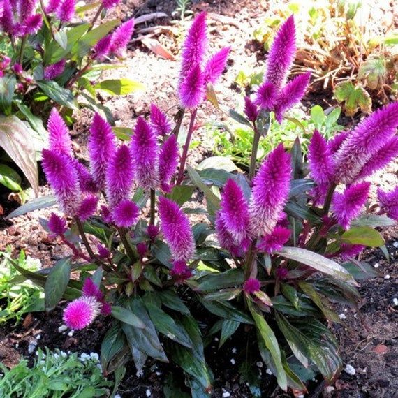 Celosia Flamingo Flower Seeds Celosia Spicata Flamingo Etsy Flower Seeds Flamingo Flower Annual Flowers