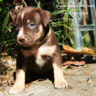 BLUE PITBULL PUPPIES FORSALE : PitBULL Breeder. pitbull Puppies For Sale.