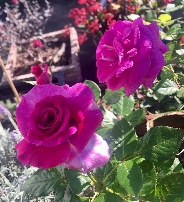 Garden love. Great colour.