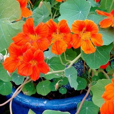 20+ Nasturtium Spitfire Flower Seeds , Under The Sun Seeds
