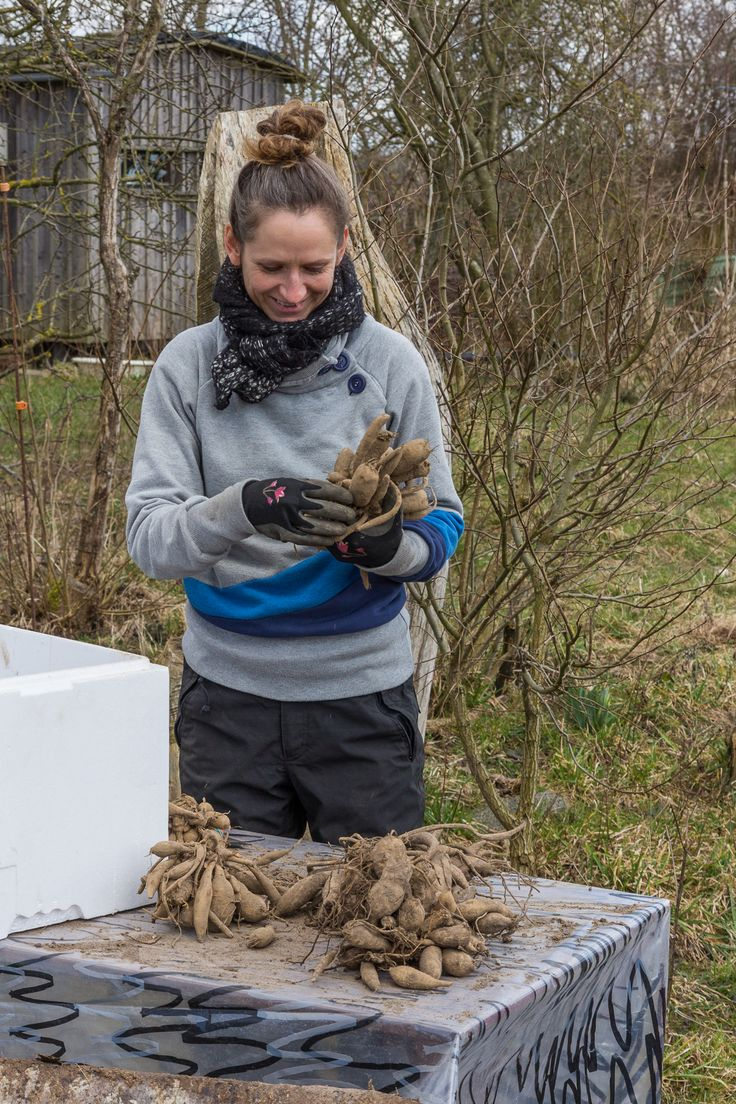Organic flower farming, preparing dahlia bulbs, vildevioler.dk, March 2016