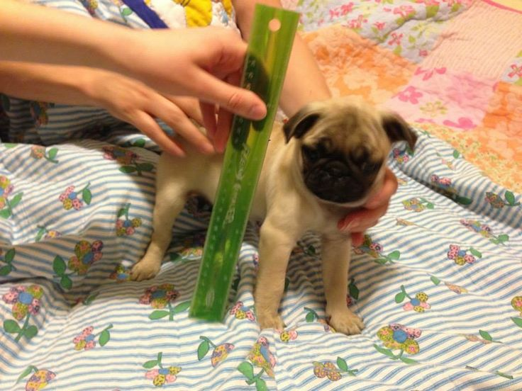 Franklin the Pug is 8 weeks old and is measured.