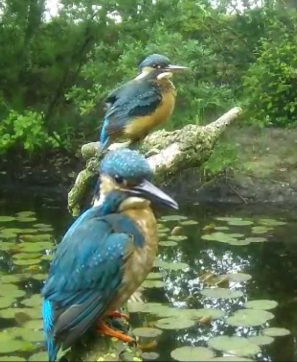 Kingfisher - Holland webcam