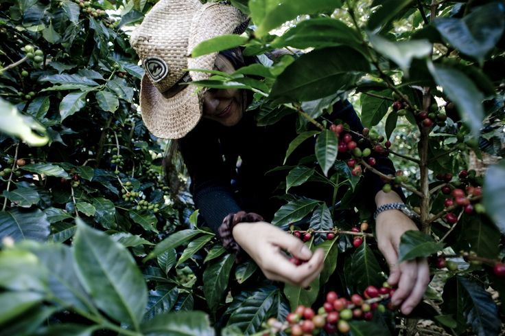 Harvesting coffee cherries with care
