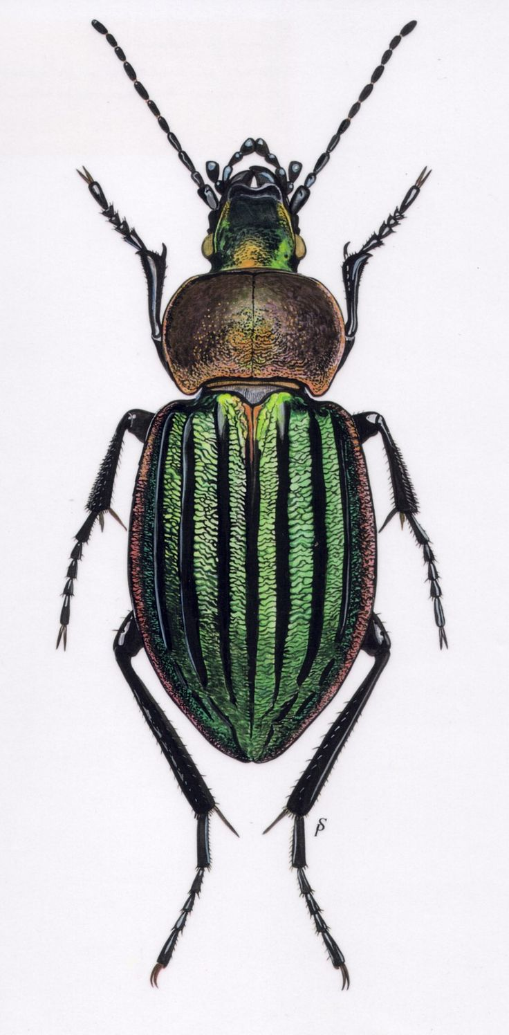 Insect Paintings Google Search Insectos Ilustracion