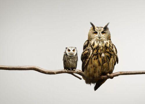 richardmillward: moodboardmix: Scops and Eagle Owls sitting together on a branch. © Darrin Jenkins. (via TumbleOn)