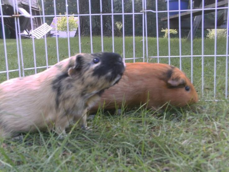 Guinea Pigs for Adoption in Portage, Indiana 'Wheeker's Guinea Pig Rescue' (us-indiana-kokomo  region) ~ visit listing for contact info<br/>This is a Bonded group ~  ~ ~  ~ .  Available for adoption on GuineaPigFinder.com. View and share to help them find a great new home!