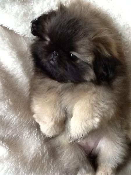 """Black Mask Faun Pekingese Pup-- I wont own another type of dog again. I love you """"Sassy Girl"""""""