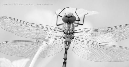 Dragonfly (infra-red)