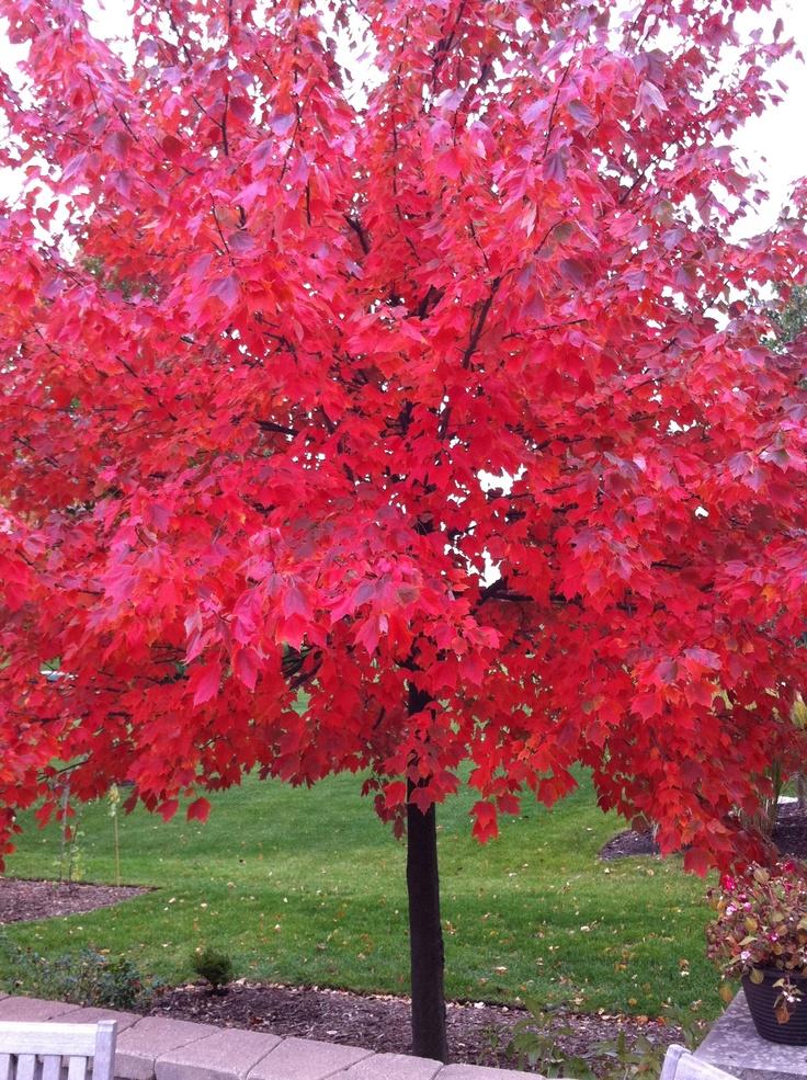 Acer rubrum (Canadese Esdoorn), prachtige herfstkleuren, zeer winterhard