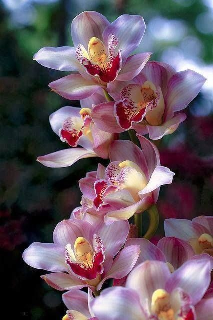✯ Cattelyea orchid blooms. These are terrestrial orchids. Fairly easy to grow. But they have to have the right sun and the right fertilizer to bloom like this.