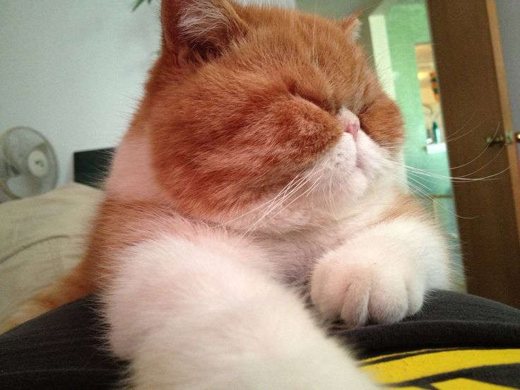 selkirk rex / persian cat mix
