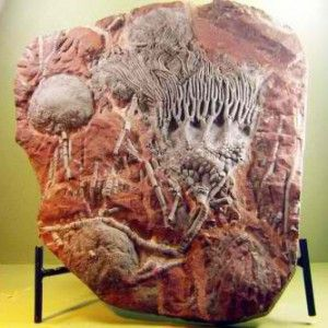 30 Crinoid Fossil Plate