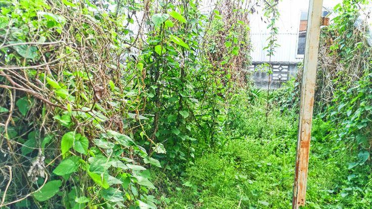 諸事情により実家の庭を手入れすることができず、数年間放置し続けていました。その結果、今まで見たことも無いような植物や木が、庭一面に繁殖する結果になってしまっていました。正直ここまで庭のジャングル化が進むと、何から手をつけていけば良いのか?