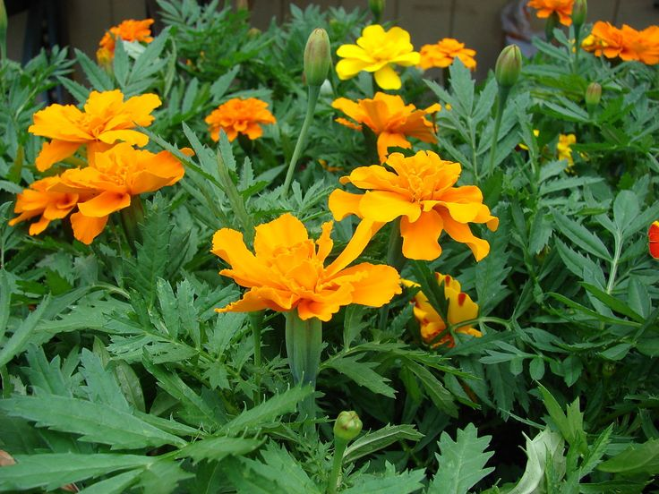 Tagetes erecta - Wikipedia