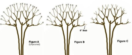 How & When to trim a crepe myrtle tree