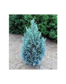 Chamaecyparis lawsoniana 'Van Pelt's Blue' - Kék hamisciprus