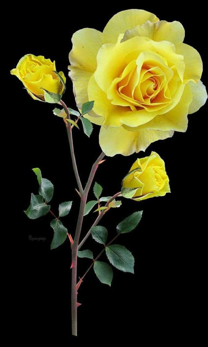 картинки вертикальные желтые розы