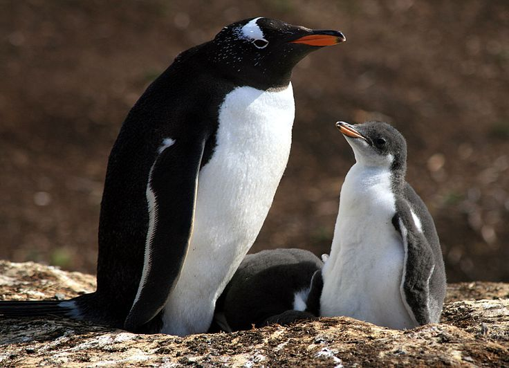 Learn about Wildlife in Antarctica like Penguins in Antarctica, Whales, Seals, Birds, Penguins & more! Travel to see wildlife in Antarctica!