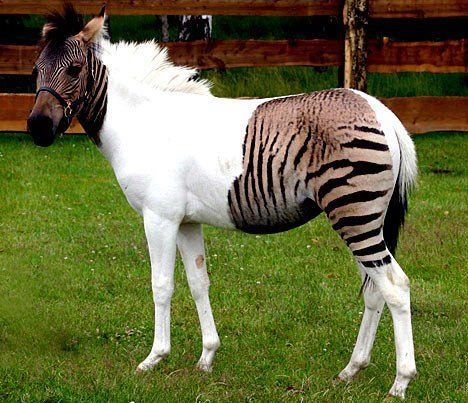 Meet Eclyse - the amazing zebra crossing.....Her father is a zebra, while her mother is a horse. And she's walking proof of how a child inherits genes from both parents.For while most zebra-horse crossbreeds sport stripes across their entire body, Eclyse only has two such patches, on its face and rear.The one-year-old zorse was the accidental product of a holiday romance when her mother, Eclipse, was taken from her German safari park home to a ranch in Italy for a brief spell.