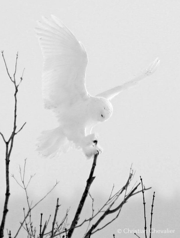Ghost of the north           A beautiful ghostly photo of a Snowy Owl (Bubo scandiacus) landing on a branch in Quebec, Canada. Photo by Christian Chevalier photographe.