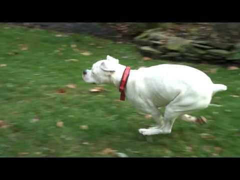 Resultado de imagen para white boxer running to human