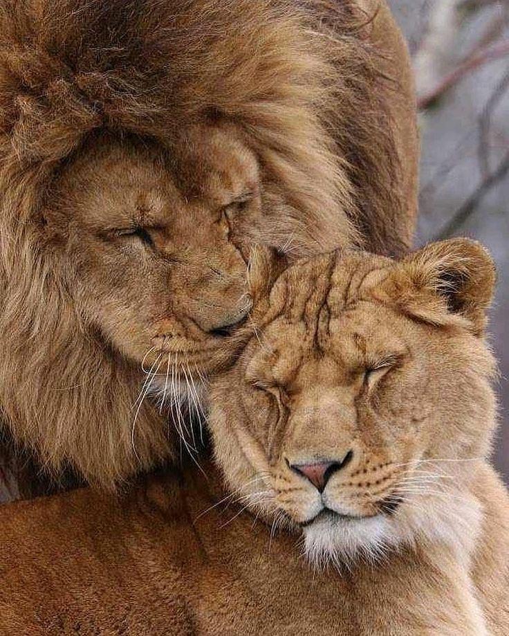 Картинки, надписи с картинками львов