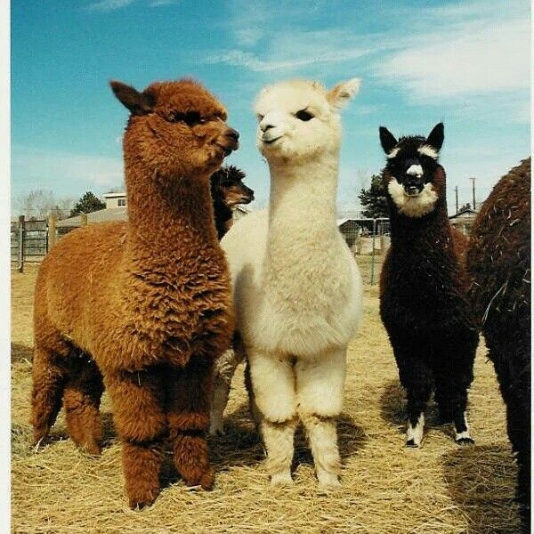 #Alpacawool #alpaca 3 times more resistant and 7 times more warmer than sheep's wool #ecofashion and #sustainable