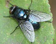 Maggot therapy - Wikipedia