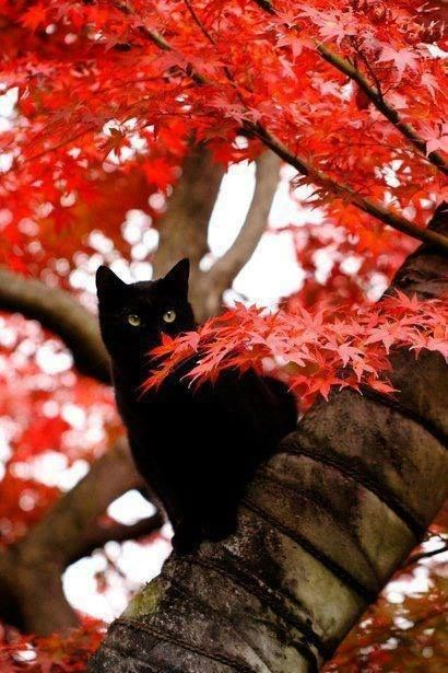 Red leaves & black cat