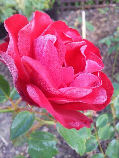 结霜的红玫瑰