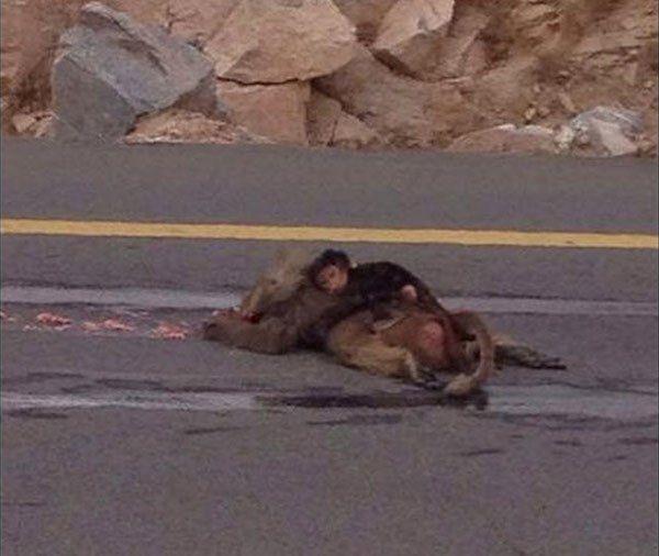 Scimmia neonata piange sul corpo investito della madre