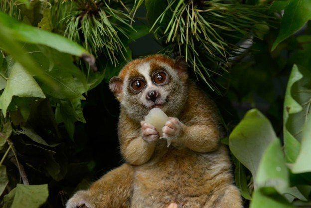 Slow lorises are the only venomous primate.  They produce venom from their elbows photo by the Duke Lemur Center. (via @qikipedia) #slowlorisfacts