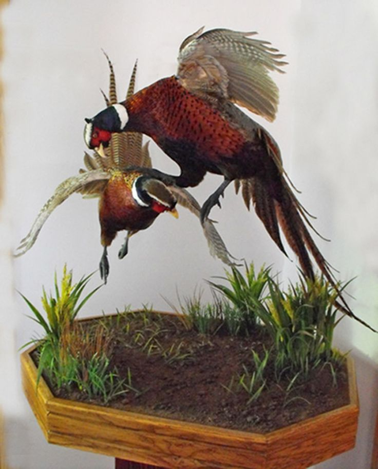 Google Image Result for http://www.wingedcreationstaxidermy.com/_2009-pheasant-5.jpg