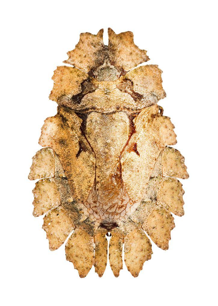Eurymetropsis umbrina