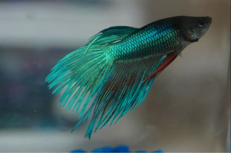 76 best beta fish tattoo images on pinterest for Betta fish mating