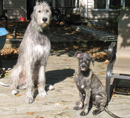 Annora the Irish Wolfhound with his big brother Finn