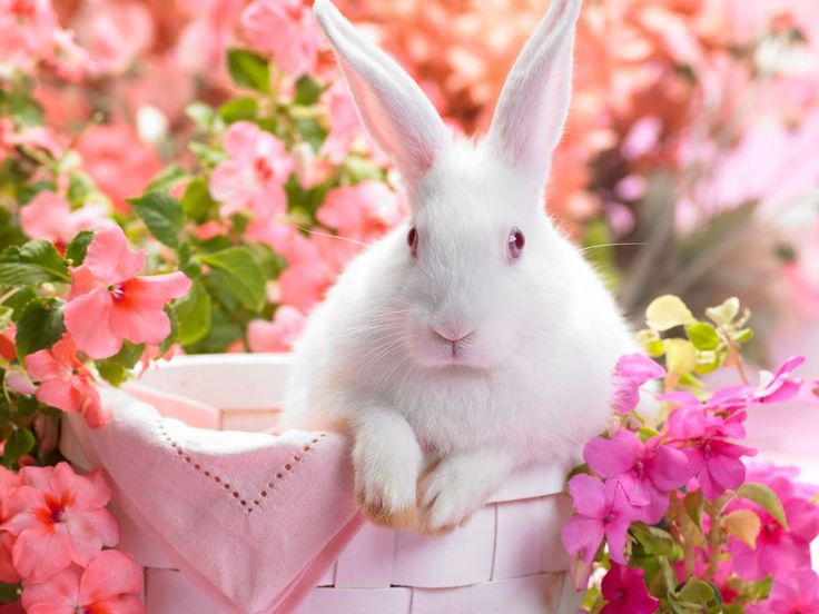 Image detail for -Springtime Hare: Free Wallpapers: Pink Flower, Spring Flower, Easter Bunnies,  Angora Rabbit, Desktop Wallpapers, Easter Bunny, Happy Easter, Easterbunni, Animal