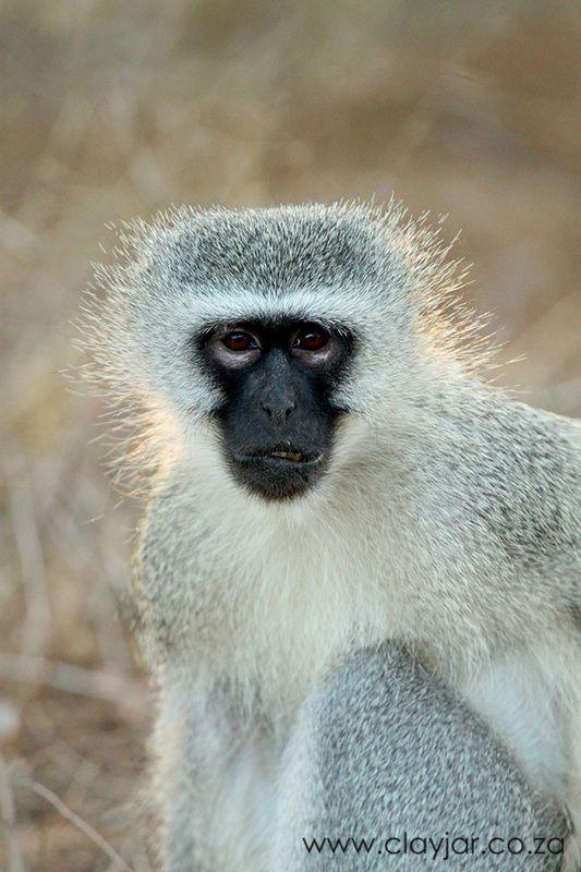 Vervet Monkey - Cape Town Photographers   Clay Jar Photography