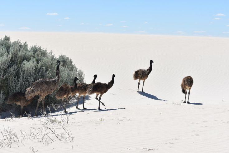 Emus at Sandy Cape WA