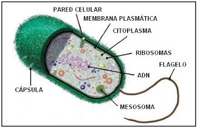 componentes de una célula procariota