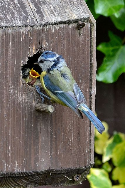 Blue jay feeding baby in the nest Birdhouse